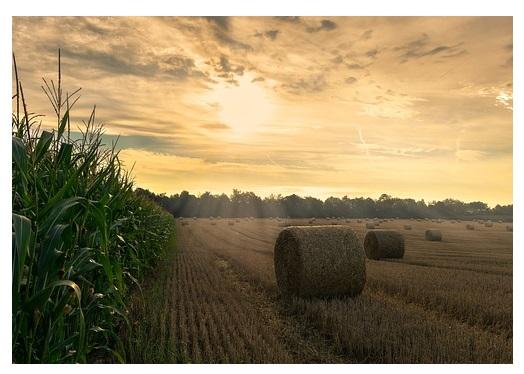 kukuricny nebo skliznovy uplnek